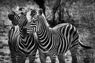 web_zebras